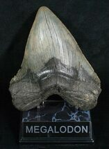"Buy Giant 5.88"" Megalodon Tooth With Pathology - #5191"