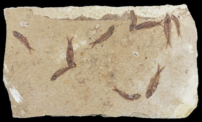 Ten Small Knightia Fossil Fish - Wyoming