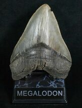 "Buy 5.88"" Megalodon Tooth - Sharp Serrations - #5200"