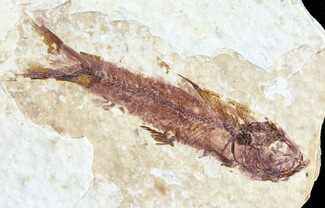 "1.6"" Knightia Fossil Fish - Wyoming For Sale, #60830"