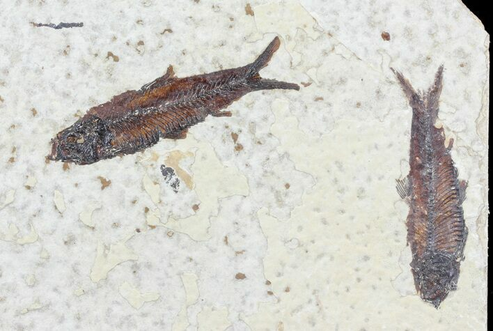 Two Knightia Fossil Fish - Wyoming