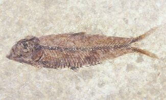"Buy 2.8"" Knightia Fossil Fish - Wyoming - #60889"