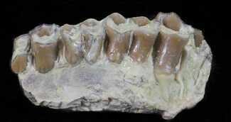Oligocene Ruminant (Leptomeryx) Jaw Section For Sale, #60974