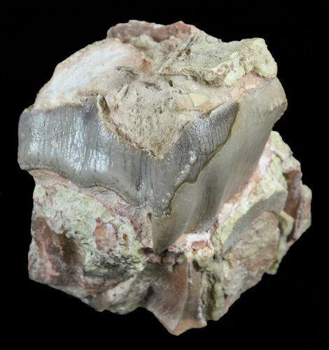 "1.5"" Hyracodon (Running Rhino) Tooth - South Dakota"
