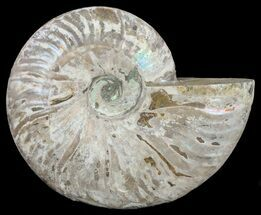 "6.4"" Silver Iridescent Ammonite - Madagascar For Sale, #61514"