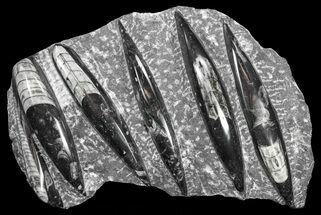 Orthoceras regulare - Fossils For Sale - #61557