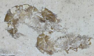 Carpopenaeus callirostris - Fossils For Sale - #61563