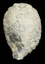 "Buy 1.5"" Cystoid (Holocystites) Fossil - Indiana - #62026"