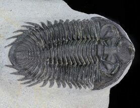 "Bargain, 2.3"" Coltraneia - Bug Eyed Trilobite For Sale, #62072"