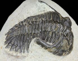 "Bargain, 1.4"" Hollardops Trilobite - Morocco For Sale, #62168"