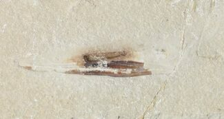 "Buy 1.6"" Cretaceous Fossil Squid - Soft-Bodied Preservation - #48586"
