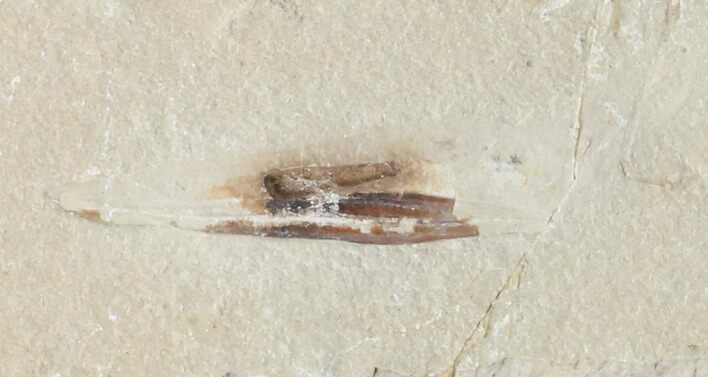 "1.6"" Cretaceous Fossil Squid - Soft-Bodied Preservation"