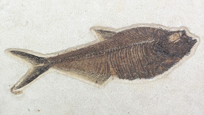 "Excellent, 10.3"" Diplomystus Fish Fossil - Wyoming"