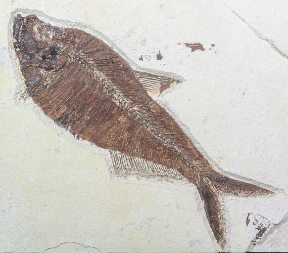 "10.2"" Diplomystus Fish Fossil - Green River Formation"