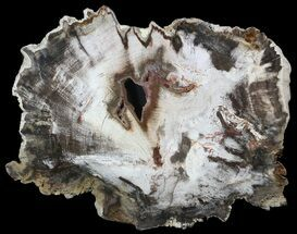 "7.5"" Petrified Wood (Beech) Slab - Deschutes River, Oregon For Sale, #62681"