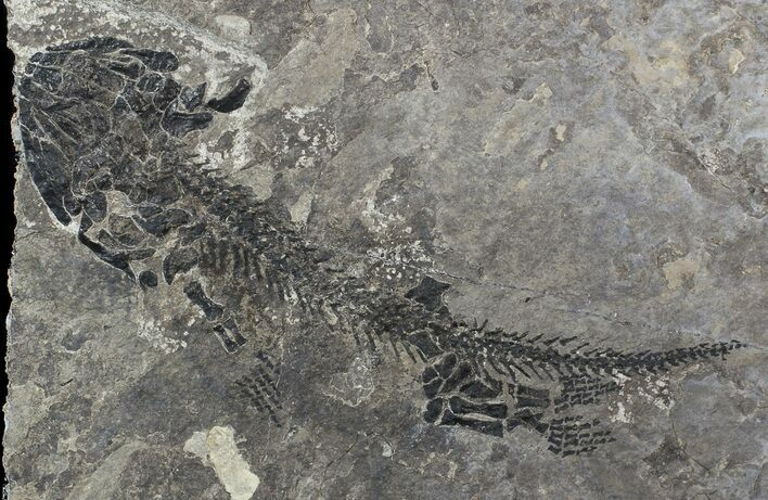 "6.4"" Discosauriscus (Early Permian Reptiliomorph)"