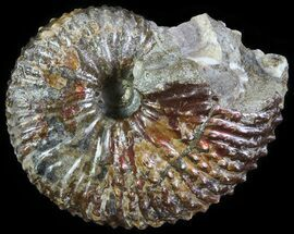 Hoploscaphities (Jeletzkytes) nebrascensis - Fossils For Sale - #62589