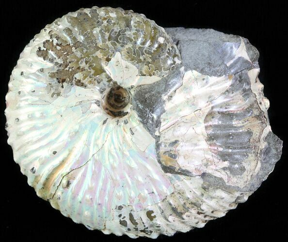 "2"" Hoploscaphites Ammonite - South Dakota"
