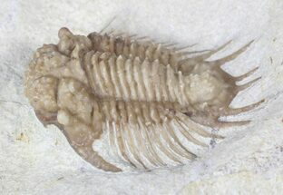 "Buy ""Bug X"" Acanthopyge Trilobite - Black Cat Mountain, Oklahoma - #62929"