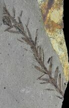 Buy Metasequoia (Dawn Redwood) Fossil - Montana  - #62320