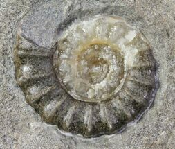 Agatized Promicroceras Ammonite - Dorset, England For Sale, #30731