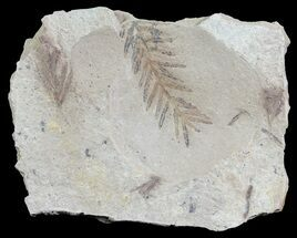 Metasequoia (Dawn Redwood) - Fossils For Sale - #62292