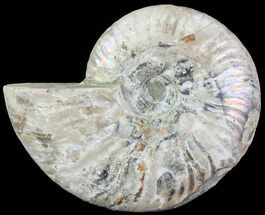 "5.7"" Silver Iridescent Ammonite - Madagascar For Sale, #61505"