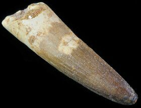 "2.1"" Spinosaurus Tooth - Real Dinosaur Tooth For Sale, #63395"