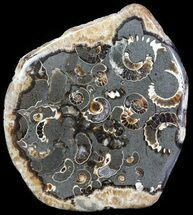 "2.2"" Polished Ammonite Fossil Slab - ""Marston Magna Marble"" For Sale, #63839"