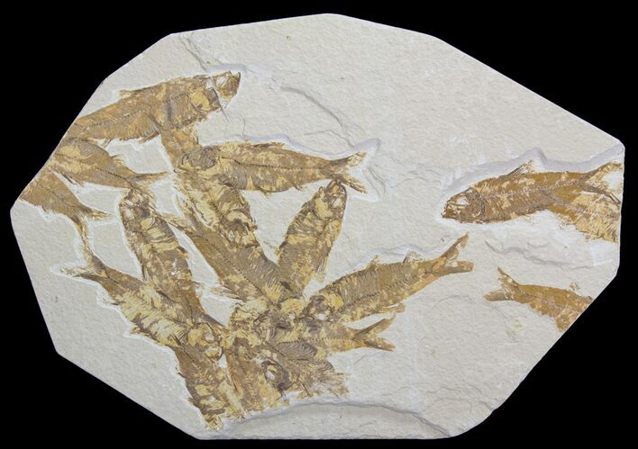 Knightia Fossil Fish Mortality Plate- Wyoming