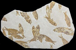 Knightia eocaena - Fossils For Sale - #63981