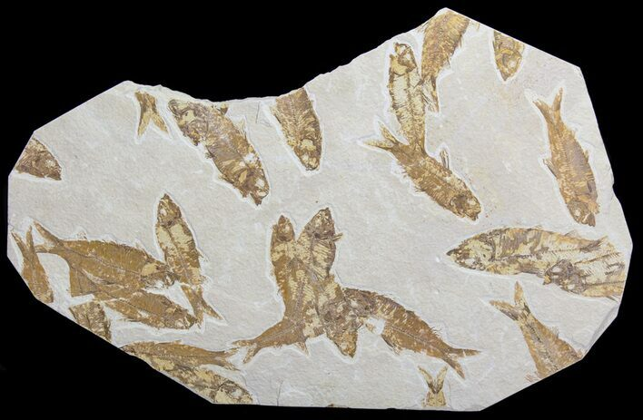 "14.5"" Wide Fossil Fish (Knightia) Mortality Plate- Wyoming"
