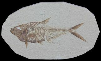 "Detailed, 5.8"" Diplomystus Fossil Fish - Wyoming For Sale, #63962"