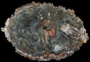 "Buy 17.25"" Colorful Petrified Wood Round - Madagascar - #64312"