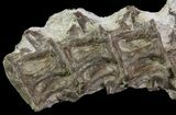 6 Associated Ichthyodectes (Monster Fish) Vertebra - Kansas - #64322-1