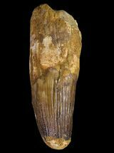 "Buy 4.35"" Spinosaurus Tooth - Huge Dinosaur Tooth - #64582"