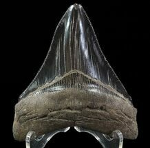 Carcharocles megalodon - Fossils For Sale - #64545