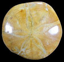 "2.8"" Polished Fossil Sand Dollar (Pygurus) - Jurassic For Sale, #64673"