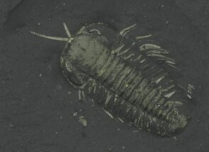 Pyritized Triarthrus Trilobites With Appendages - New York For Sale, #64805