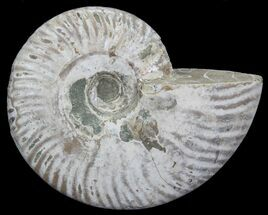 "Buy 4.5"" Silver Iridescent Ammonite - Madagascar - #64837"