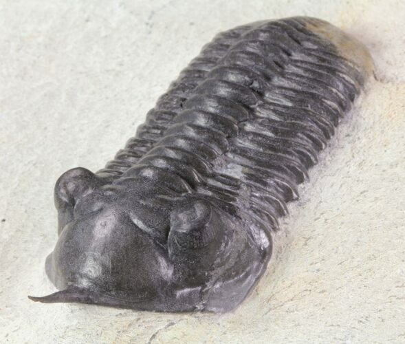 "2.6"" Morocconites Trilobite - Clear Eye Facets"