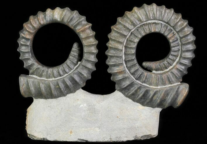 Two Devonian Ammonites (Anetoceras) - Morocco