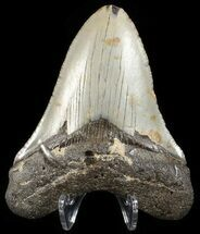 "Bargain, 3.37"" Megalodon Tooth - North Carolina For Sale, #65693"