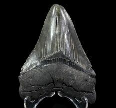 "Buy Serrated, 3.27"" Fossil Megalodon Tooth - Georgia - #65785"