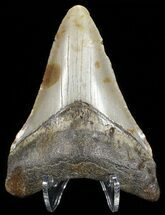 Carcharocles megalodon - Fossils For Sale - #65700