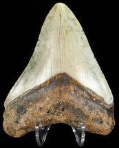 "Buy Bargain, 3.25"" Megalodon Tooth - North Carolina - #65701"