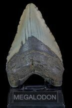 "Heavy, 5.92"" Fossil Megalodon Tooth - North Carolina For Sale, #66143"