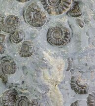 "3.6"" Ammonite Fossil Slab - ""Marston Magna Marble"" For Sale, #63494"