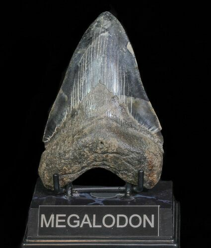 "Serrated, 4.73"" Fossil Megalodon Tooth - Georgia"