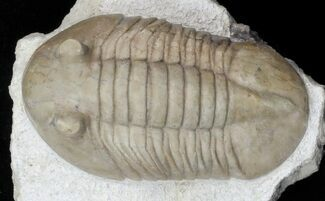 "Buy 1.8"" Asaphus bottnicus Trilobite - Uncommon Species - #31306"